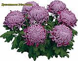 Маточник Хризантема Irisa Purple, фото 2