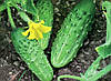 Семена огурец Гейм