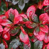 Барбарис Red Jewel в контейнере оптом, фото 2