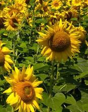Семена подсолнечника фушия
