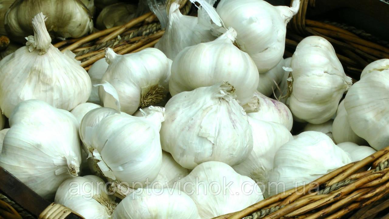 Чеснок озимый Дюшес 0.5 кг севок голландия белый
