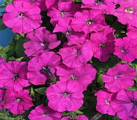 Семена Петунии Карлик F1, фиолетовая 1000 гранул Cerny