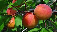 Саджанці абрикоса Кіото (Kioto)