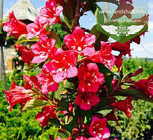 Weigela florida 'Rumba', Вейгела квітуча 'Румба',P7-Р9 - горщик 9х9х9