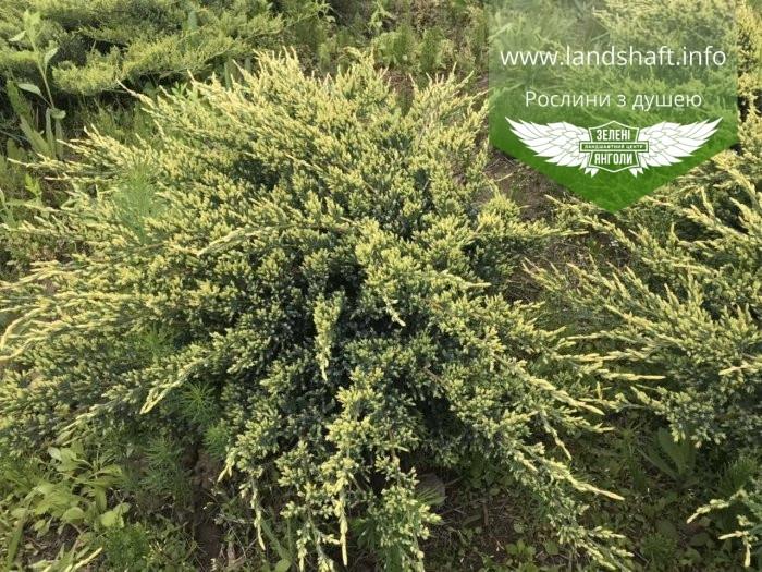 Juniperus squamata 'Holger', Ялівець лускатий 'Холгер',C2 - горщик 2л