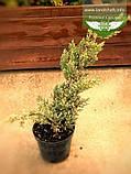 Juniperus squamata 'Holger', Ялівець лускатий 'Холгер',C2 - горщик 2л, фото 2