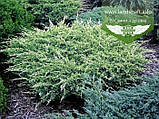 Juniperus squamata 'Holger', Ялівець лускатий 'Холгер',C2 - горщик 2л, фото 3
