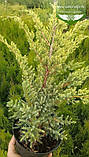 Juniperus squamata 'Holger', Ялівець лускатий 'Холгер',C2 - горщик 2л, фото 4