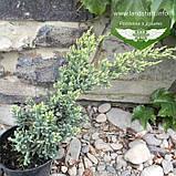 Juniperus squamata 'Holger', Ялівець лускатий 'Холгер',C2 - горщик 2л, фото 5