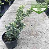 Juniperus squamata 'Holger', Ялівець лускатий 'Холгер',C2 - горщик 2л, фото 6