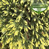 Juniperus squamata 'Holger', Ялівець лускатий 'Холгер',C2 - горщик 2л, фото 7