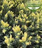 Juniperus squamata 'Holger', Ялівець лускатий 'Холгер',C2 - горщик 2л, фото 8