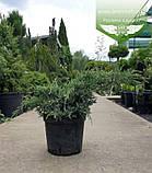 Juniperus squamata 'Holger', Ялівець лускатий 'Холгер',C2 - горщик 2л, фото 10