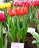 Тюльпан Тріумф Lalibela (Лалібела) 12+ оптом 500 шт/ящ., фото 2