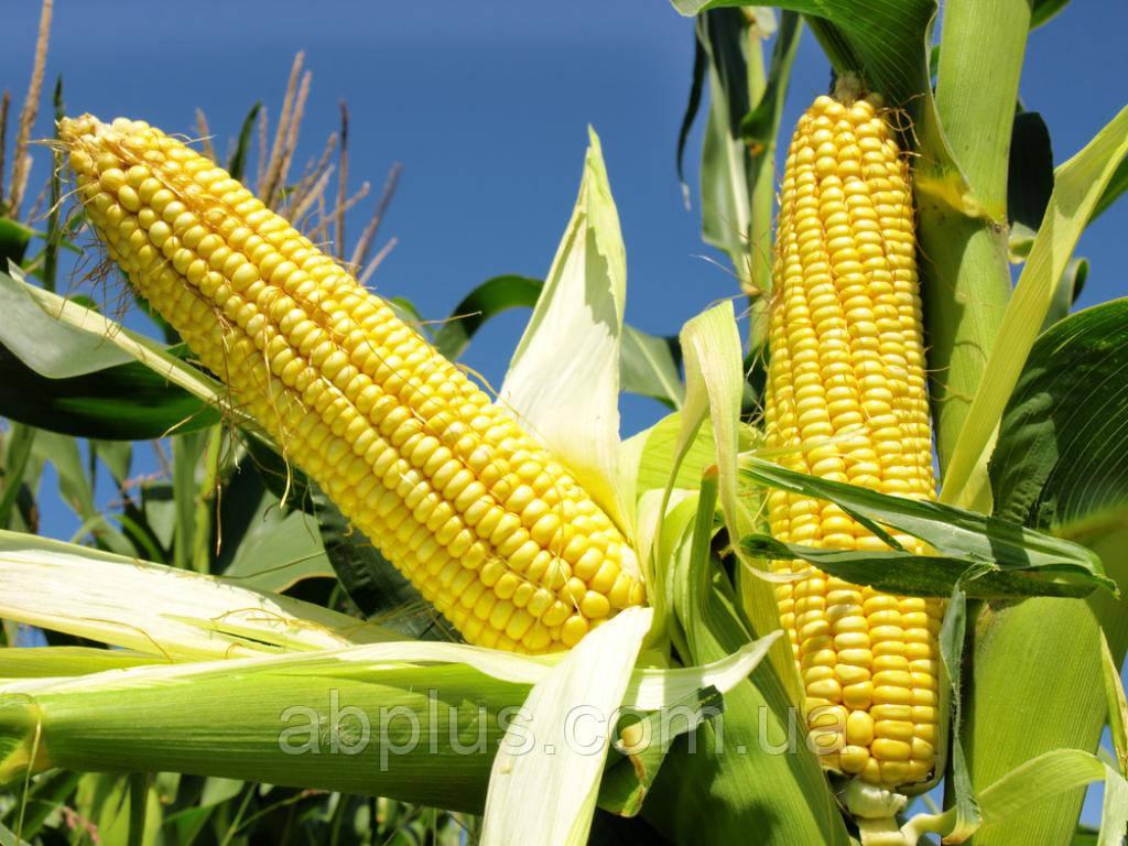 Семена кукурузы EURALIS  Москіто