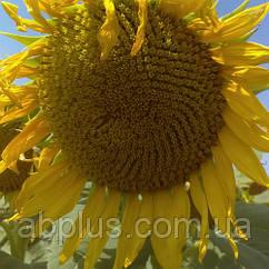 Насіння соняшника P63LE10