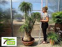 """Нолина Бокарнея отогнутая выс. 180-200 см., слоновая нога, """"бутылочное дерево"""""""