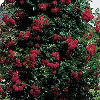 Саженцы почвопокровных роз Ред вельвет