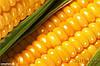 Гибрид кукурузы AS 33009 Aspria Seeds
