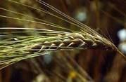 Семена ярового ячменя Доказ элита