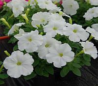 Семена Петунии Ламбада F1, белая  Hem Genetics 1000 гранул