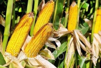 Семена кукурузы  Р 9537 Force Zea