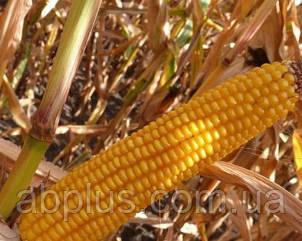 Семена кукурузы  Aмелиор (Amelior) Force Zea