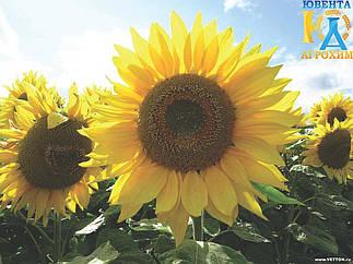 Семена подсолнечника Сулико 50 (екстр)