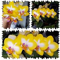 Ярко желтая орхидея Свит герл Phal. Yen Shuai Sweet Girl 'Shiny Girl', фото 1