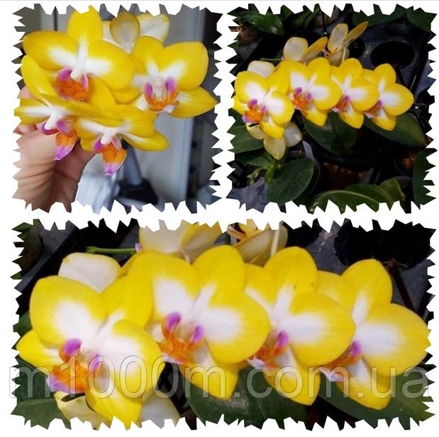 Ярко желтая орхидея Свит герл Phal. Yen Shuai Sweet Girl 'Shiny Girl'