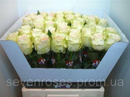 Роза Sweet Jumilia 60см