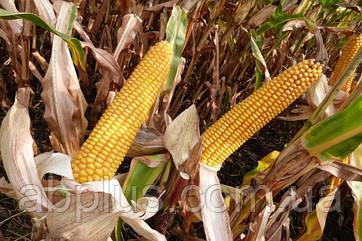 Семена кукурузы Mas 36.A  Force Zea