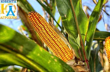 Гібрид кукурудзи ОС 378 new