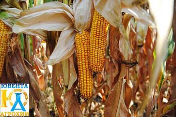 Гібрид кукурудзи ЗУМ 405