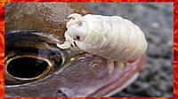 Малахитовый зеленый для борьбы с сосальщиком и жаберными клещами у рыбы