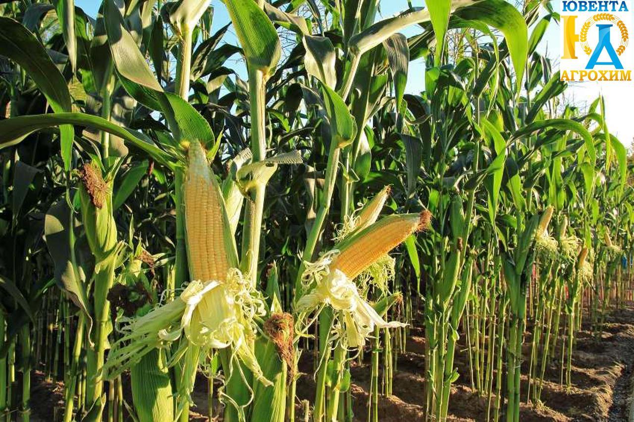 Семена кукурузы AS 33003