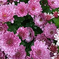 №5. Хризантема Бузково-Рожева