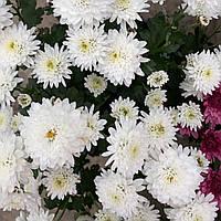 №9. Хризантема Сніжно-Біла