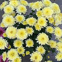 №14. Хризантема Лимонна