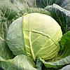 Семена капусты Ландини F1 / Landini F1, 2500 семян