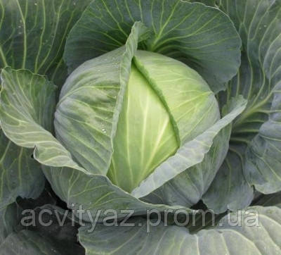 Семена капусты Сати F1 / Satie F1, 2500 семян