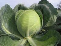 Семена капусты Гилсон F1 / Gilson F1, 2500 семян
