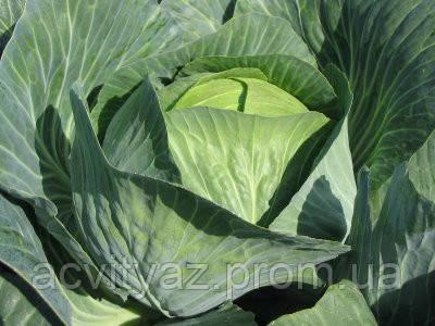 Семена капусты Лион F1 / Lion F1, 2500 семена калиброванные