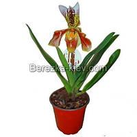 Пафиопедилум - Орхидея Башмачок