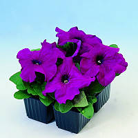 Семена Петунии Лимбо F1, пурпурная Hem Genetics 1000 гранул