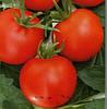ТОЛСТОЙ F1 - семена томата индетерминатного 5 грамм, Bejo Zaden