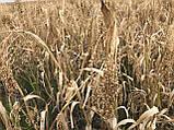 Просо красное Полтавское Золотистое 1-Р, фото 2