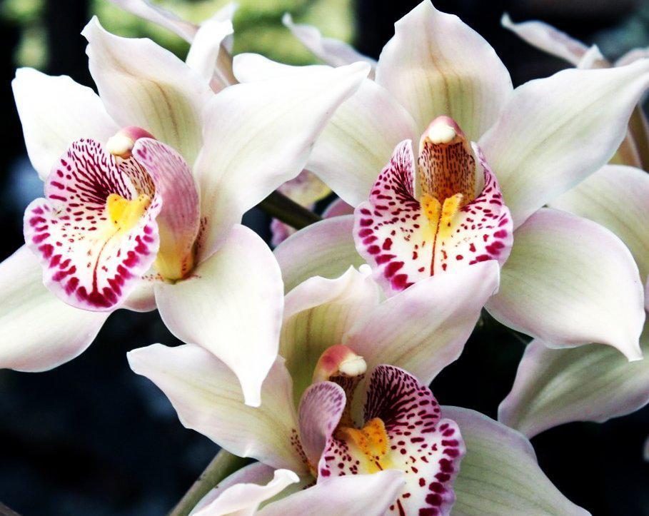Алмазная вышивка мозаика Чарівний діамант Белая орхидея-2 КДИ-0135 40х50см 30цветов квадратные полная