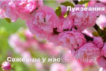 растения для сада, ландшафтный дизайн, красивый куст, на палочке, корень, цветы, розовые, махровые аллея, парк, цветение, посадить, выбрать,
