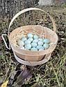 Инкубационное яйцо перепела Селадон (США), фото 4